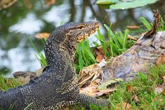 Water monitor Royalty Free Stock Photos