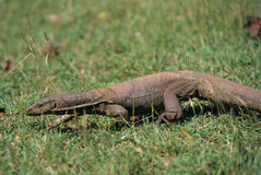 Water monitor in grass, Sri Lanka Stock Image