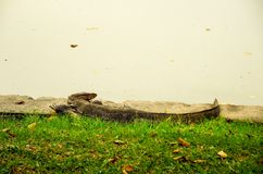Water monitor on green grass Stock Photography