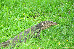 Water monitor in green park Stock Images