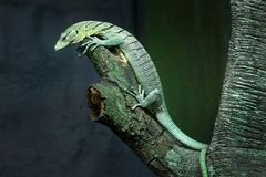 Water monitor green Varanus salvator. Stock Image