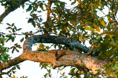 A water monitor laying on the tree on sunset Stock Photo