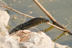 The water monitor. Water monitor live habitat where is water ,lake and river Stock Image