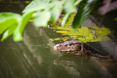 Water monitor live habitat where is water ,lake and river. Outdo Royalty Free Stock Images