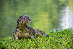 The water monitor. Stock Images