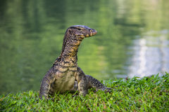 The water monitor. Royalty Free Stock Photos