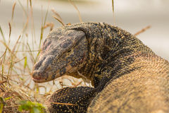The water monitor. Stock Photo