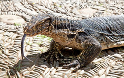 Water Monitor Lizard Stock Photography