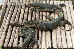 Water monitor lizard. In zoo of thailand Royalty Free Stock Photography