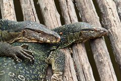 Water monitor lizard. In zoo of thailand Stock Photos