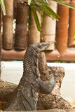 Water monitor lizard. In zoo of thailand Royalty Free Stock Image