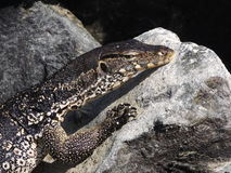Water Monitor Lizard Royalty Free Stock Photos