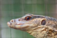Water Monitor Lizard Stock Photography