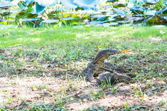 Water monitor lizard eating dead Orinoco sailfin catfish  Plecostomus fish Stock Images
