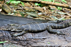 Water monitor lizard Royalty Free Stock Photography