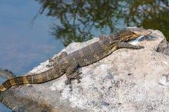Water monitor lizard Royalty Free Stock Image