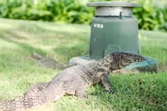 Water Monitor Lizard Royalty Free Stock Images