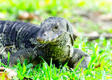 Water monitor lizard on green grass Stock Photography