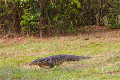 Water monitor lizard Stock Photo