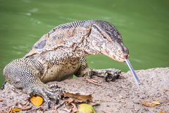Water monitor lizard varanus salvator. Water monitor lizard in the Lumphini Park in Bangkok varanus salvator Stock Photography