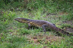Water Monitor Lizard in the Okavango Delta in Botswana. Near Maun stock photos
