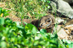 Water monitor lizard in Sri Lanka Royalty Free Stock Photography