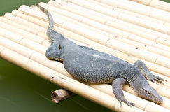 Water Monitor Lizard. Royalty Free Stock Photography