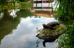 Water monitor lizard (varan) is restin on the stone in the pond. In the chinese garden Stock Photos