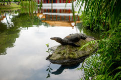 Water monitor lizard (varan) is restin on the stone in the pond. In the chinese garden Stock Images