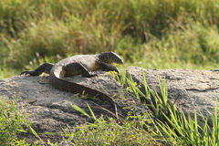 Water monitor lizard (varanus salvator) Royalty Free Stock Images