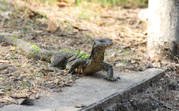 Water monitor lizard  varanus salvator Stock Photo