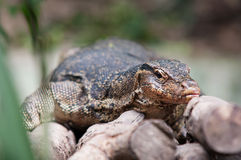 Water monitor lizard (varanus salvator) Stock Photo