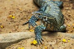 Water monitor lizard. (varanus salvator royalty free stock photo