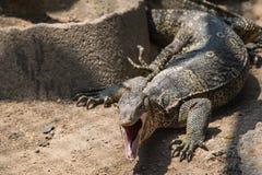 Water monitor lizard (varanus salvator) Stock Photography