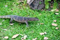 Water monitor lizard (varanus salvator) Stock Image