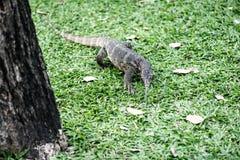 Water monitor lizard (varanus salvator) Royalty Free Stock Image