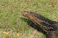 Water monitor Lizard Varanus salvator Royalty Free Stock Image