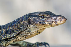 Water monitor lizard (Varanus salvator). Royalty Free Stock Photos