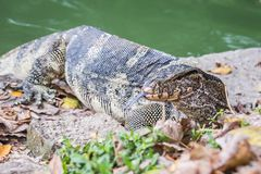 Water monitor lizard varanus salvator. Water monitor lizard in the Lumphini Park in Bangkok varanus salvator Royalty Free Stock Photo