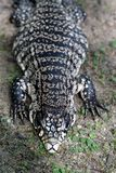 Water monitor lizard or Varanus salvator. Water monitor lizard or Varanus salvator in wild relaxing Stock Images
