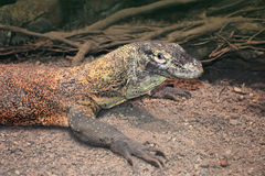 Water monitor lizard or Varanus salvator Royalty Free Stock Photo