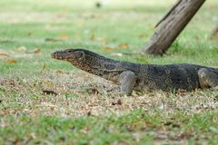 Water monitor pauses for caution in grass field Royalty Free Stock Image