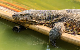 Water Monitor is Sunbathing in Lake. Water Monitor is Sunbathing on Bamboo Raft in Lake Royalty Free Stock Images