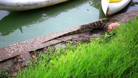 Water monitor and turtle in green park, Bangkok. Thailand. 1920x1080 stock footage
