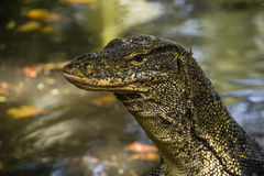 Water monitor (Varanus Salvator). On Tioman island, Johor, Malaysia Royalty Free Stock Photos