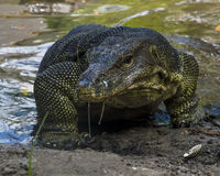Water monitor (Varanus Salvator). On Tioman island, Johor, Malaysia Royalty Free Stock Photography