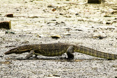 Water monitor (Varanus Salvator). On Tioman island, Johor, Malaysia Royalty Free Stock Images