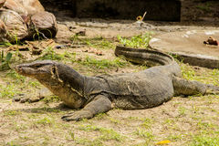 Water monitor (Varanus Salvator) Stock Images