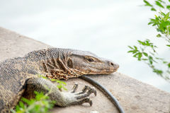 The Water monitor, (Varanus salvator) Royalty Free Stock Images