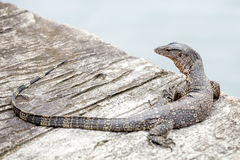 The Water monitor, (Varanus salvator) Royalty Free Stock Image